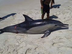 JORNAL O RESUMO - MORTE SUSPEITA JORNAL O RESUMO: Golfinho e cavalo-marinho aparecem mortos em praia...