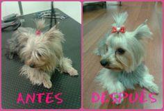 Así de guapa quedó Luna tras su lavado y corte a tijera. #mascotas #peluqueriacanina #granada #perros #yorkshire