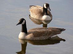 Canada Geese, Pair, Wildlife, Waterfowl, Birds, Two