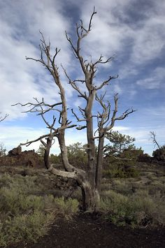 Tree at Craters of the Moon National Monument, ID