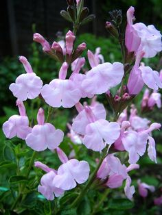 Buy Salvia jamensis Peter Vidgeon plants Online | Hayloft Plants