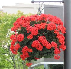 TOP 10 Plants for Stunning Hanging Baskets - Top Inspired Pelargoniums - Also known as Geraniums Plants For Hanging Baskets, Hanging Flowers, Diy Hanging, Easy To Grow Flowers, Ivy Geraniums, Trailing Flowers, Bloom Where Youre Planted, Container Flowers, Types Of Flowers
