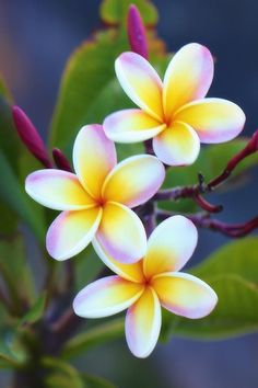 ETYMOLOGICAL MEANING OF THE PLUMERIA FLOWER