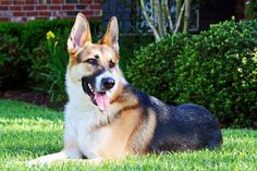 I've always wanted a German Shepherd ever since I was a kid, and I still do! The Panda Shepherds are SO pretty!