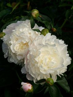 Beautiful Moon Garden That Will Transform Your Yard - Onechitecture White Flowers, Beautiful Flowers, Cut Flowers, Peonies Garden, Deco Floral, Beautiful Moon, White Peonies, White Gardens, Peony Flower