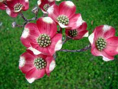 Flowering heads of pink dogwood tree. The pink and white objects are not petals, but bracts -- modified leaves. The actual flowers are found...