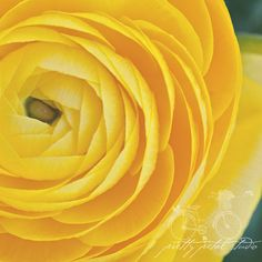 Floral Fine Art Photograph, Bright Yellow Ranunculus Flowers, Shabby Chic Photo, Floral Art , Macro Photograph, Home Decor, 8x8 Square Print