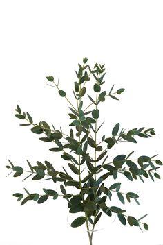 Parvi Eucalyptus