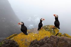 Beautiful puffins resting on a rock in Iceland