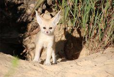 Taronga Zoo Celebrates Birth From World's Smallest Fox Species - Northern Michigan's News Leader