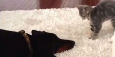 Tiny Kitten Mounts Attack Against Unimpressed Doberman