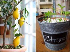 Zitronenbaum pflanzen: Wie man aus Zitronenkernen einen Zitronenbaum selber ziehen kann, lesen Sie im Grüne Beete Blog. Hier zum Artikel!