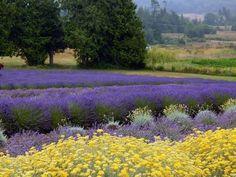 Lavender fields at Purple Haze in Sequim.