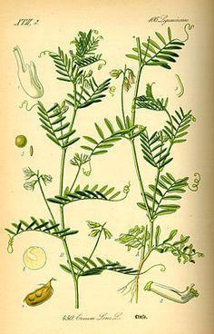 """Linse (Lens culinaris), Illustration  """"Die Linse oder Erve (Lens culinaris), auch #Küchen_Linse [1] genannt ist eine Pflanzenart aus der Gattung Linsen (Lens) aus der Unterfamilie Schmetterlingsblütler (Faboideae) innerhalb der Familie der Hülsenfrüchtler (Fabaceae oder Leguminosae). Sie stammt wahrscheinlich von der wilden Lens orientalis ab."""""""