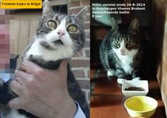 Millie #vermist in #Keerbergen Vlaams Brabant  sinds 26-8-2014 Gesteriliseerde #kattin van 9 jaar verdween in de omgeving van de Emiel Opdebeecklaan  Zeer lieve poes met witte buik, witte pootjes en tijgermotief op de rug en staart. Zwart puntje op de neus. De poes woonde 9 jaar in Mechelen (Grote Nieuwendijkstraat) en is 3 weken na verhuis naar Keerbergen ontsnapt Contact: Hugo +32498116461 — met Sylvie Van Buyten https://www.facebook.com/sylvie.vanbuyten