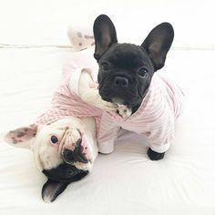 """""""Pink striped pyjamas! @miss_olive_the_frenchie  #frenchie #frenchieoftheday #französischebulldogge #franskbulldog #frenchbull #fransebulldog…"""""""