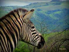 Nobody can help but to admire the view on a visit to Leopard Mountain Game Lodge. #Zebra