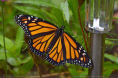 MY MONARCH SEASON BEGINS - JULIE'S BUTTERFLIES