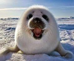A Organização Mundial do Comércio (OMC) anunciou que a decisão da União Europeia de proibir a importação de produtos derivados de focas continuará vigorando, apesar do Canadá e da Noruega tentarem derrubá-la. Um grande dia para os animais e para nossa campanha global de proteção às focas!