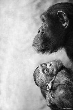 #chimpanzees #mother #baby ✿⊱╮