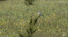 Mountain Bluebird in Yellowstone National Park.