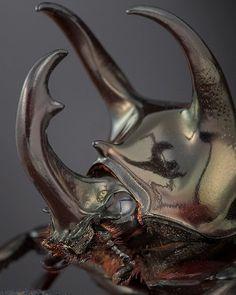 Chalcosoma Atlas  •  The Atlas beetle (Chalcosoma atlas)