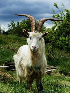 Many goat breeds' horns are deliberately remove. Description from wildlife-nature.knoji.com. I searched for this on bing.com/images