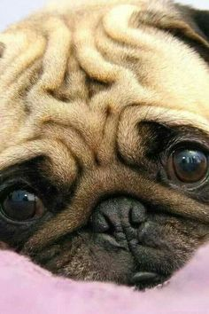 Pug; Dog; Animal; Pet; Funny Dog; Pug Picture;Cute Dog Pug Love, I Love Dogs, Worlds Cutest Animals, Pugs And Kisses, Baby Pugs, Pug Pictures, Pug Puppies, Terrier Puppies, Bull Terriers