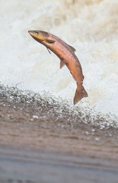 Salmon leap up the could on the River Tweed near Philiphaugh Salmon Viewing Center, Selkirk, Scottish Borders