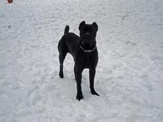 BEAUTIFUL CANE CORSO <3    Sophie is an adoptable Cane Corso Mastiff Dog in Virginia Beach, VA. Sophie is a gorgeous 13 month old female black Cane Corso with cropped ear and a docked tail. She is very sweet and loves to cuddle...
