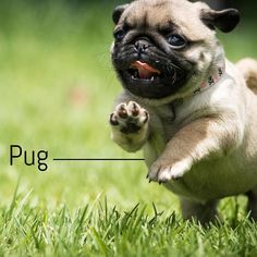 Breeoftheweek Pugs Often Are Described As A Lot Of Dog In Small Space