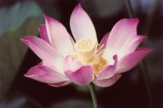 How to grow a Lotus flower in a fishbowl.