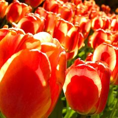 Tulips in red clothes. Photo Marita Toftgard.
