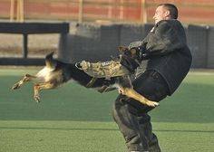 Leska, a military working dog, attacks Master-at-Arms 2nd Class John Winjum, a military working dog handler, during training at Camp Lemonnier, Djibouti. Training maintains the dog's proficiency in subduing suspects.