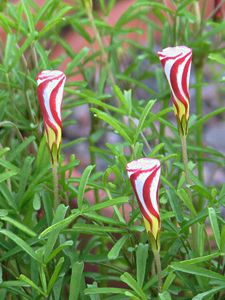Oxalis versicolor, Trevo-listrado