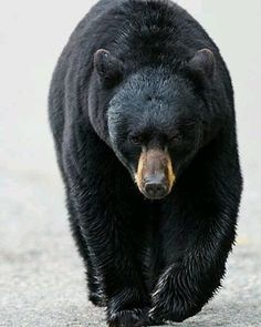 Bear  Photo by ©bgsmith  #WildlifeFriend