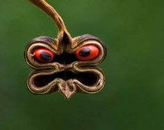 Abrus ist eine Hülsenfrucht und in kleinsten Mengen toxisch. (sieht ja auch bereits aus wie ein böser Gnom oder?)