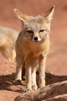 Kit foxes are a tiny, endangered species of fox native to the San Joaquin valley of California.
