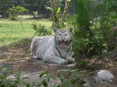 Big Cat Rescue in Tampa, #Florida. A different experience for your beach vacation.