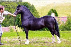 Welsh Mountain Pony (section A) - stallion Finglebridge Flying Pennant