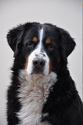 Bernese Mountain Dog. Switzerland.The breed was used as an all purpose farm dog for guarding property and to drive dairy cattle long distances from the farm to the alpine pastures. The type was originally called the Dürrbächler, for a small town (Dürrbach)