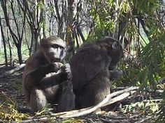 Baboons are diurnal and move through areas. This means that they do not strip an environment of its vegetation and resources. Baboon, Monkey, Environment, Animals, Monkeys, Animales, Animaux, Animal Memes, Animal