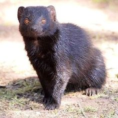 Black Mongoose