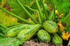 Como plantar abobrinhas em casa