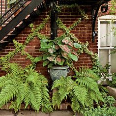 City Courtyard - Photos: Tour These Designer Gardens - Southernliving. Caladiums, ferns, and espaliered English ivy accent the carriage house wall.