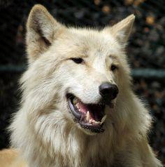 Wolf, Fleischfresser, Hund, Zoo, Tier, Säugetier, Weiß