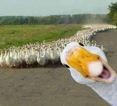 """""""If it looks like a duck, walks like a duck, quacks like a duck, well then most likely it's a duck!"""""""