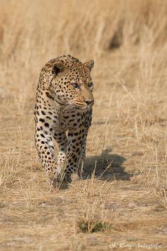 Leopard by Kurz Christian