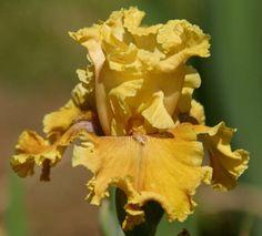 TB Iris germanica 'Honey House' (Blyth, 2002)