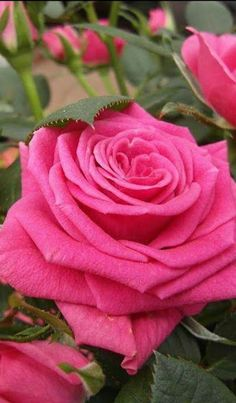 hybrid tea roses planting tips Beautiful Rose Flowers, Pretty Roses, All Flowers, Flowers Nature, Amazing Flowers, My Flower, Orquideas Cymbidium, Rosa Rose, Rose Pictures